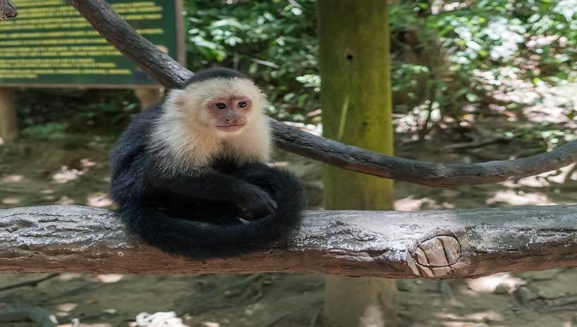 Capuchin Monkey Pet