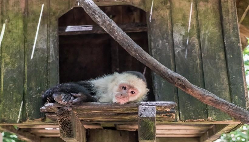 Caring Capuchin Monkey