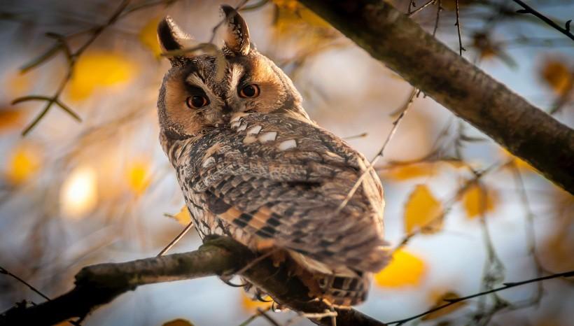 Collared Scoop Owls