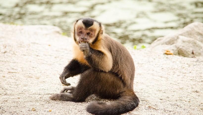 Crested Capuchin
