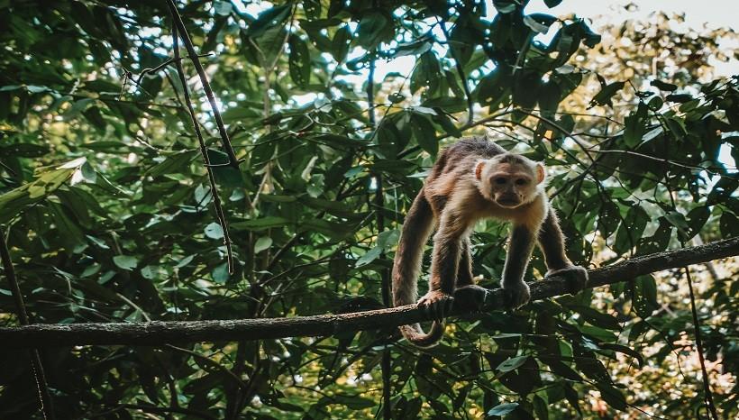 Ecuadorian Capuchin