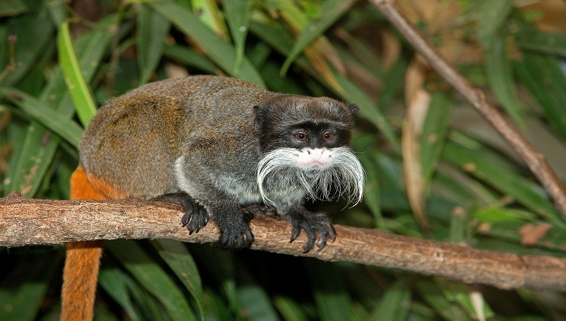 Emperor Tamarin Facts, Information, Diet, Lifespan, Population, Tail, Size