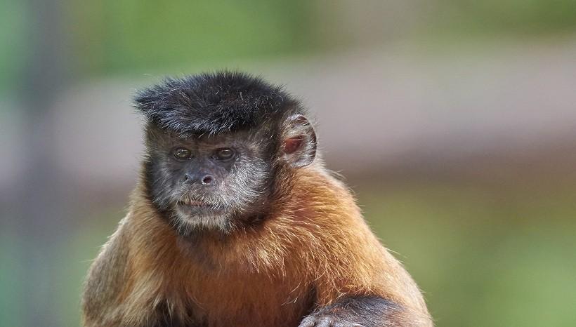 Golden Bellied Capuchin