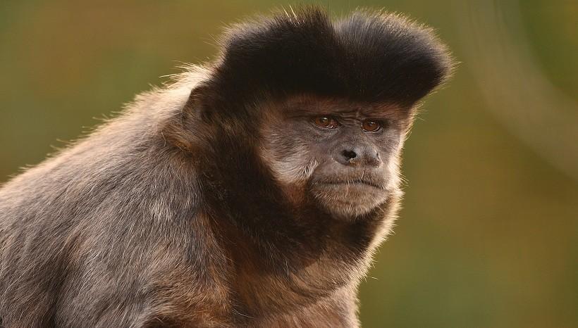 Graciela Capuchin Monkey
