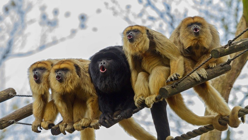 Howler Monkey Wildlife Info, Species, Habitat, Facts and All Information