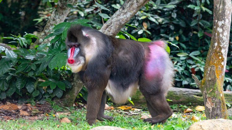 Mandrill vs Baboon