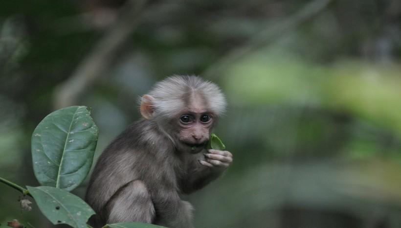 Rhesus Macaque Baby