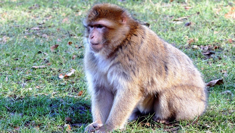 Rhesus Macaque Behavior