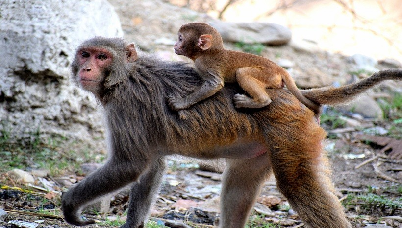 Rhesus Macaque Facts