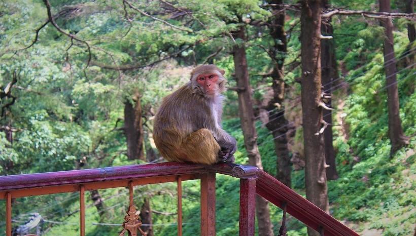 Rhesus Macaque Habitat