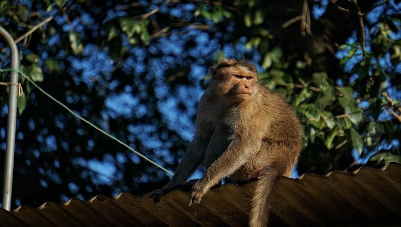 Rhesus Macaque Lifespan