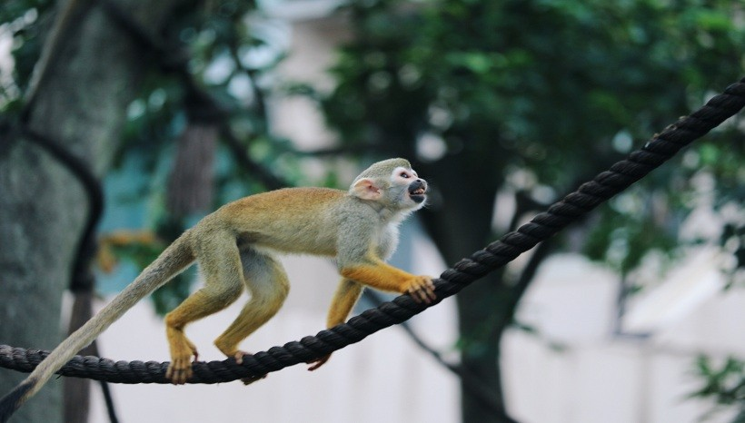 Squirrel Monkey Adaptations
