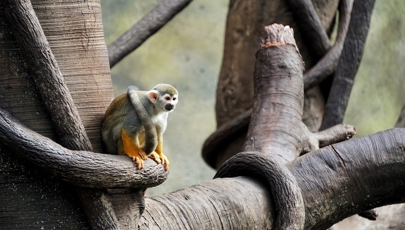 Squirrel Monkey Info