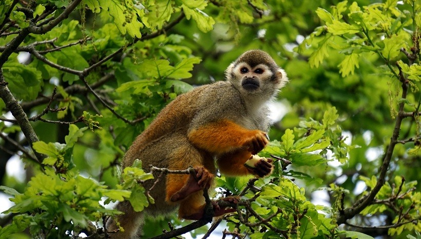 Squirrel Monkey Size