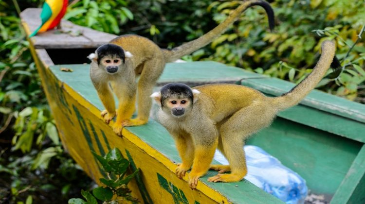 Squirrel Monkey Breeds Facts and All Information