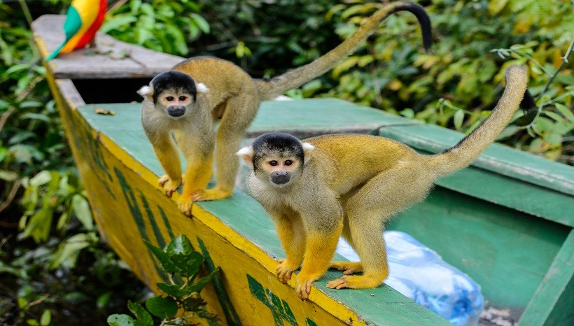Squirrel Monkey Weight, Diet, Fact, Baby, Lifespan and All Information A-Z