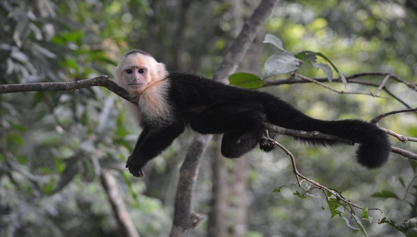 Varied White-Fronted Capuchin