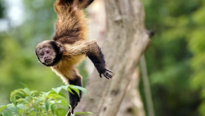 Wedge Capped Capuchin
