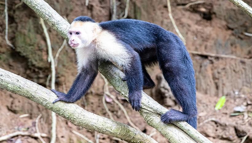 Baby White Capuchin
