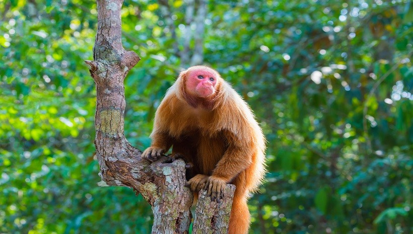 Bald Uakari Behavior, Diet, Facts and All Information