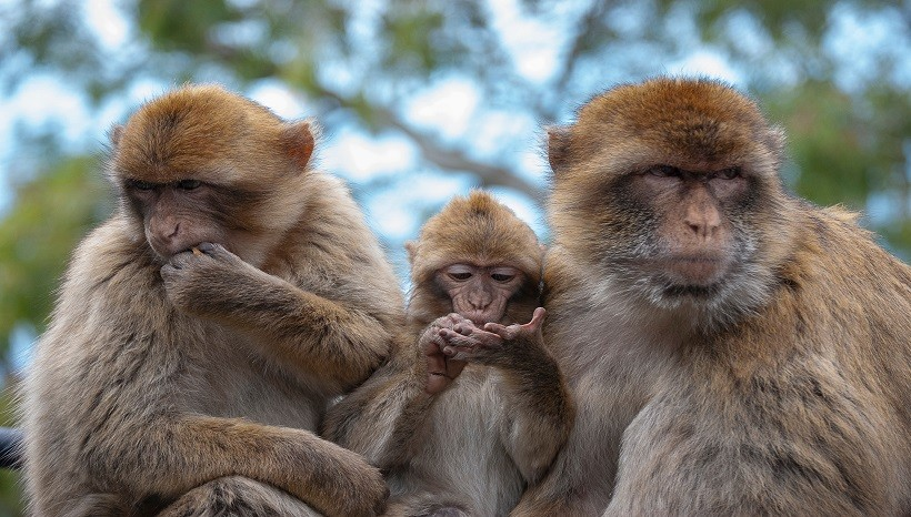 Barbary Macaque Diet, Facts, Lifespan and All Information