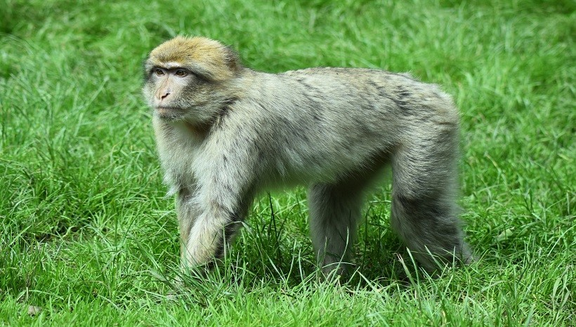 Barbary Macaque Facts