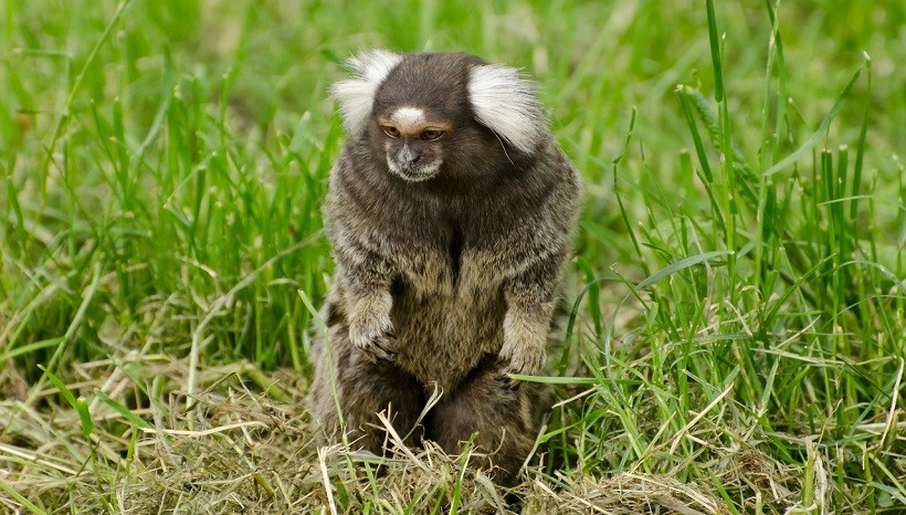 Common Marmoset Baby