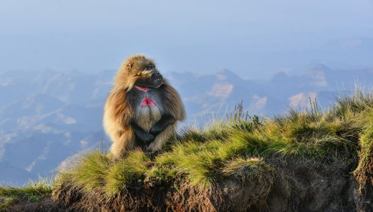 Gelada Baboon Facts, Behavior, Habitat and All Information