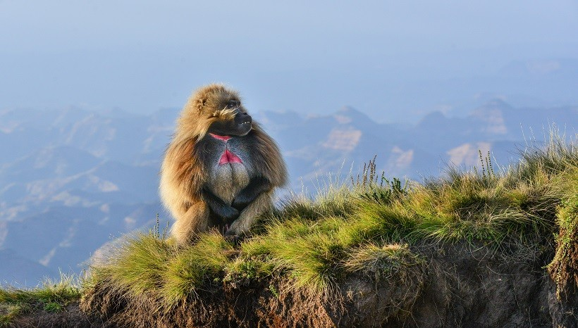 Gelada Baboon Facts, Behavior, Habitat and All Information