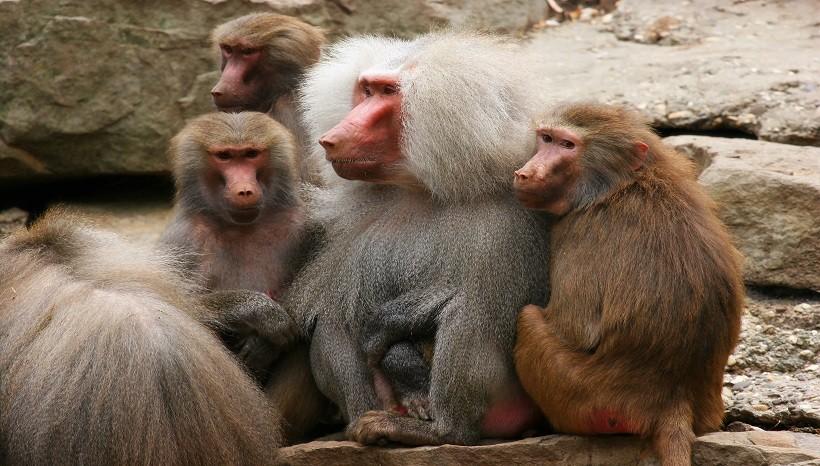 Hamadryas Baboon Facts, Habitat, Behavior and All Information