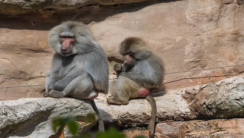 Hamadryas Baboon Habitat