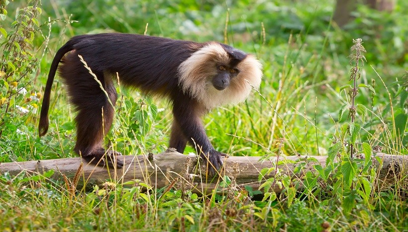 Lion Tailed Macaque Facts