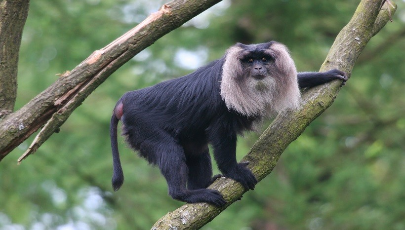 Lion-tailed Macaque Facts, Habitat, Diet and All Information