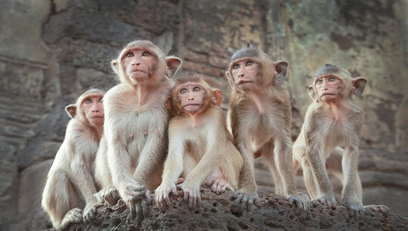 Monkey Breeds-Monkey Facts, Diet, Lifespan and All Information A-Z