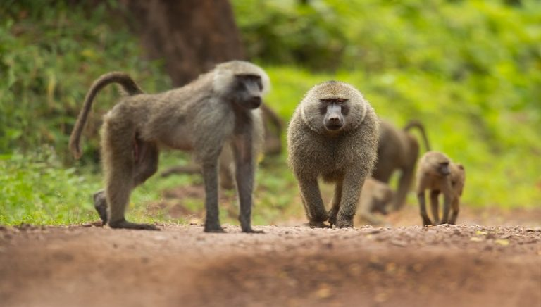 Olive Baboon Facts, Behavior, Diet and All Information