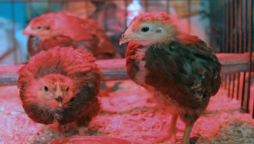 Rhode Island Red Baby Chicks
