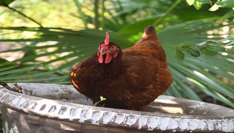 Rhode Island Red Chicken Egg Production