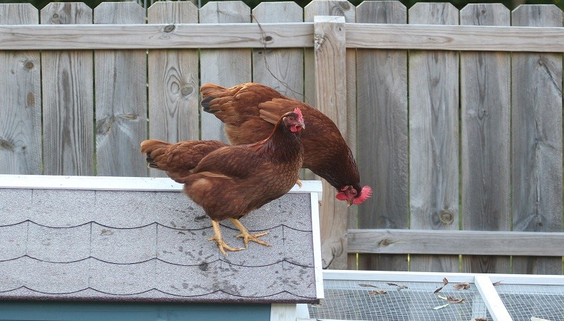 Rhode Island Red Rooster Characteristics