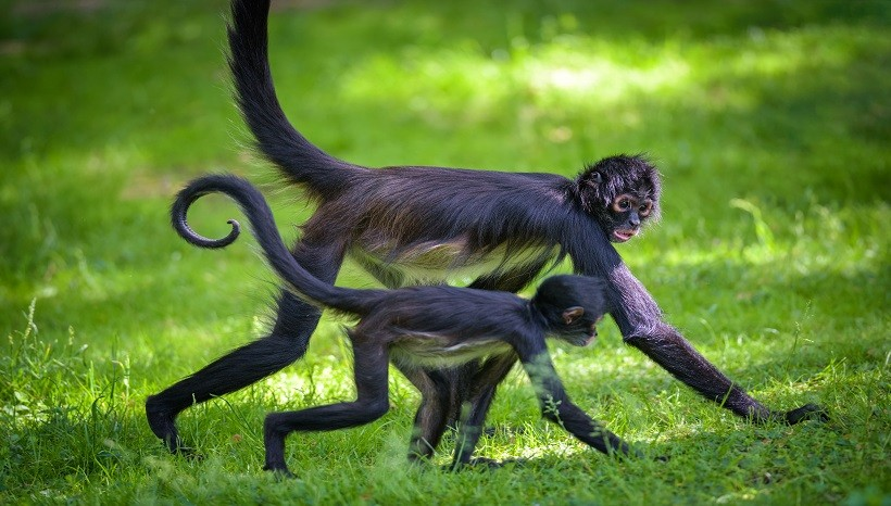 Spider Monkey Appearance