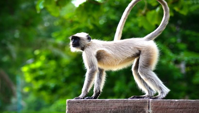 Spider Monkey pet