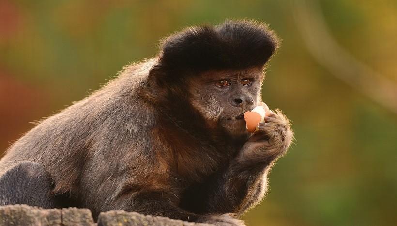 Tufted Capuchin Breeds