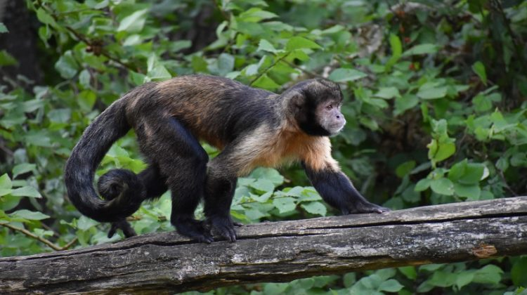 Tufted Capuchin Facts, Behavior and All Information