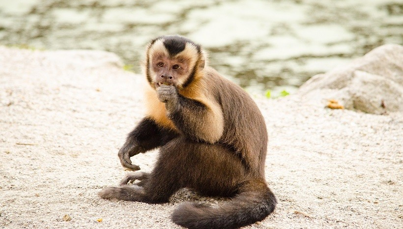 Tufted Capuchin Tail