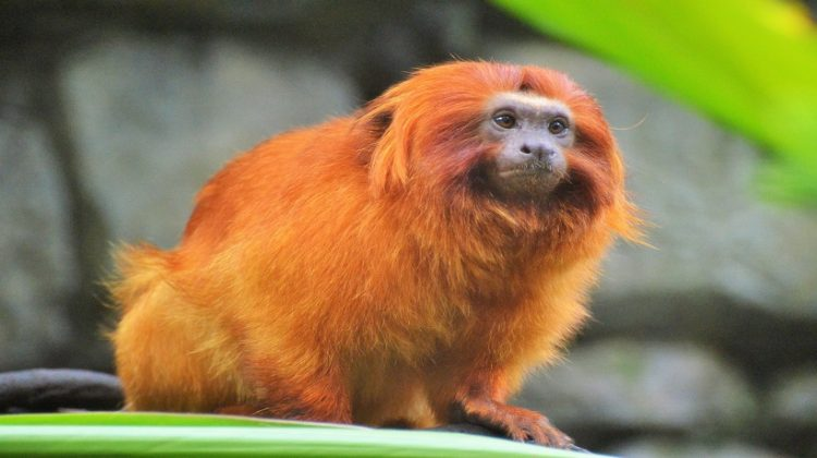 Golden Lion Tamarin Facts, Diet, Habitat and Pictures