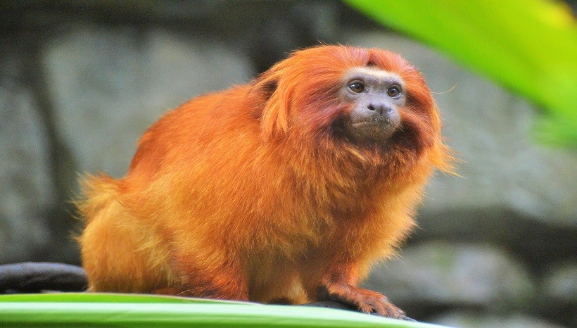 Golden Lion Tamarin Facts, Diet, Habitat, Pictures and All Information