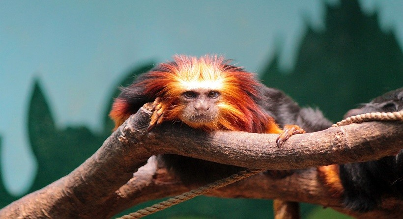Golden Lion Tamarin Habitat