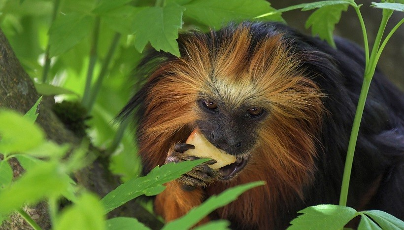 Golden Lion Tamarin Monkey For Sale