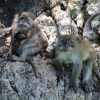 Guinea Baboon Facts, Habitat and All Information
