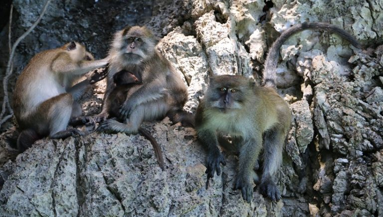 Guinea Baboon Facts, Habitat, Diet and All Information