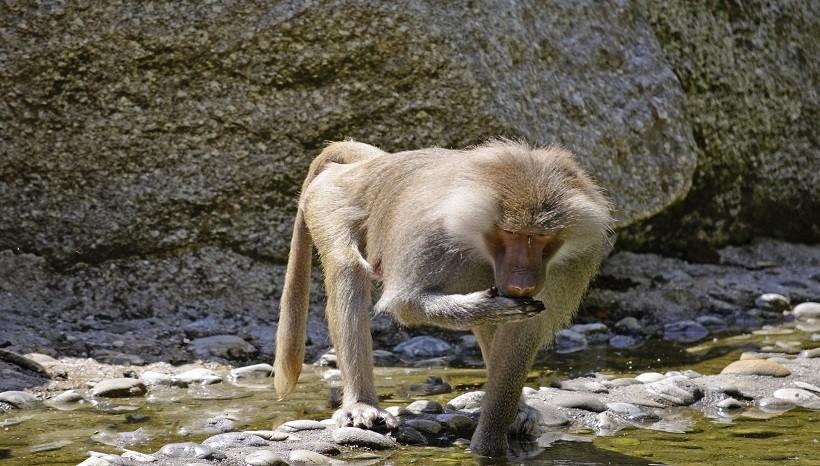 Guinea Baboon Habitat